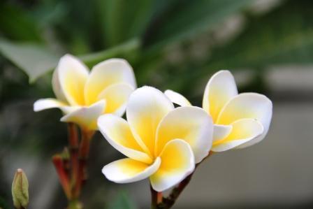 Mitos Bunga Kamboja Kelopak 4, 6, Dan 9